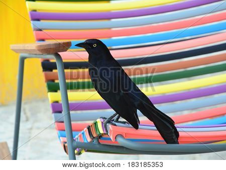 The Greater Antillean grackle sitting on chair in Curacao
