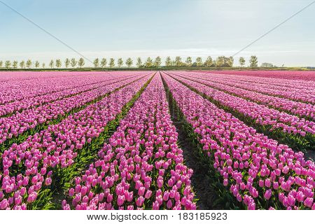 Light pink colored tulip flowers in long converging flower beds at a specialized Dutch bulb nursery. It is early in the morning of a sunny day in the beginning of the spring season.