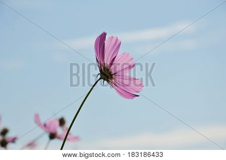 cosmos blooming in field and sky background