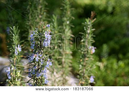 Blosom Rosemary herb in the field or small bush of Rosemary