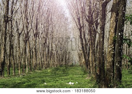 Rubber tree plantation as a source of natural rubber at thailand.