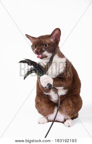 Funny cat breed Devon Rex sitting on a white background