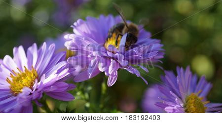 The picture shows a bee on purple flowers