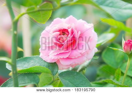 pink rose in garden beautiful flowers in the park