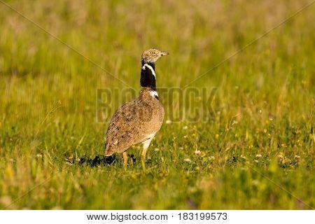 Beautiful wild bird in the meadow. Tetrax tetrax
