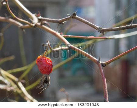 Survived rose hip in spider web lit with spring sun
