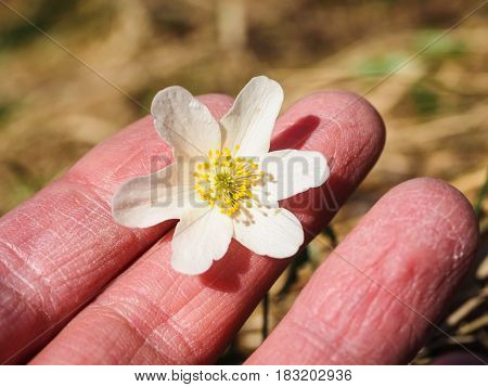 Beuatiful white windflower between caucasian human fingers at spring