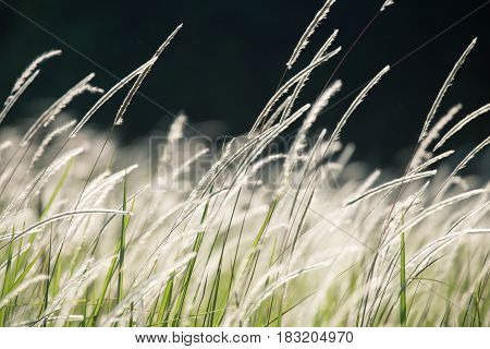 Close focus on flower grass blowing from wind on dark background.