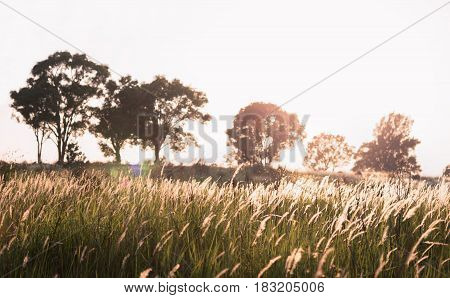 Flower grass blowing from wind with warm sunlight shining from bright sky through blurry tree on hill.