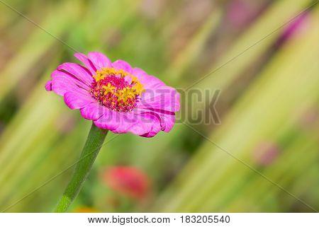 Beautiful Zinnia flower in a summer garden.