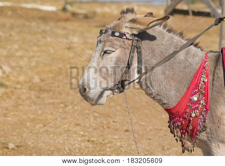 Portrait of cute dozing donkey waiting for tourists.