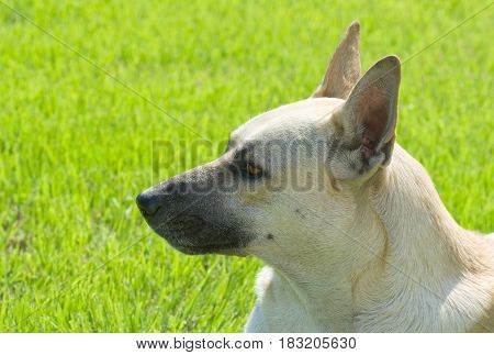 Portrait of cute sheep dog against green background.