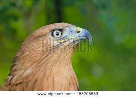 Portrait of Long-legged Buzzard (Buteo rufinus) .