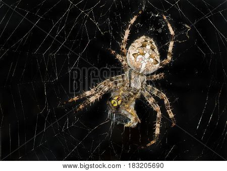 Night image of spider wrapping its victim (wasp) up into the web for further eating.