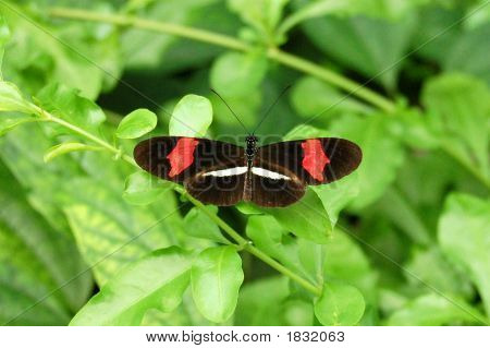 Red White And Black Butterfly
