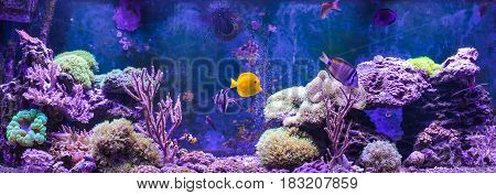 Reef tank, marine aquarium. Blue aquarium full of plants. Tank filled with water for keeping live underwater animals. Gorgonaria, Sea Fan. Clavularia. Zoanthus. Zebra apogon. Zebrasoma. Percula.
