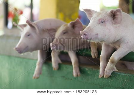 A Group Of  Piglets