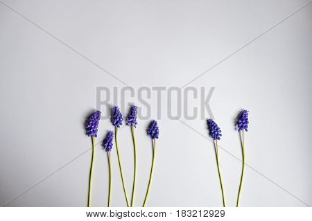Mus cari flower on a white paper background