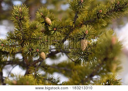Branch of spruce and strobile background closeup