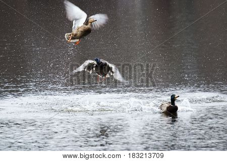 Mallards fight over a female duck at a local state park in new york in the early spring