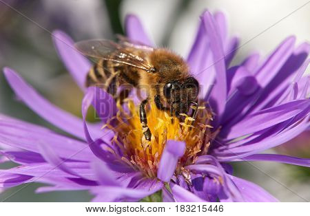 detail of honeybee (Apis mellifera) european or western honey bee sitting on the violet flower