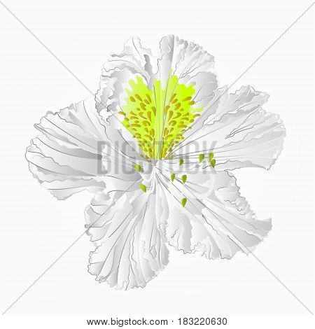 Blossoms white rhododendron eighth Mountain shrub vector illustration
