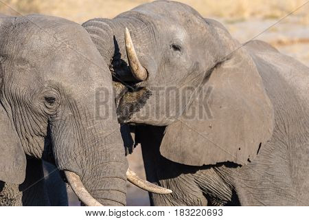 Couple Of African Elephant, Young And Adult, At Waterhole. Wildlife Safari In The Chobe National Par
