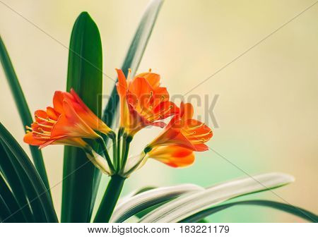 Flowers of the kaffir lilly plant. A flowering head of Clivia miniata (also known as Natal lily, bush lily, Kaffir lily). Details of a Natal lily flower (Clivia miniata).
