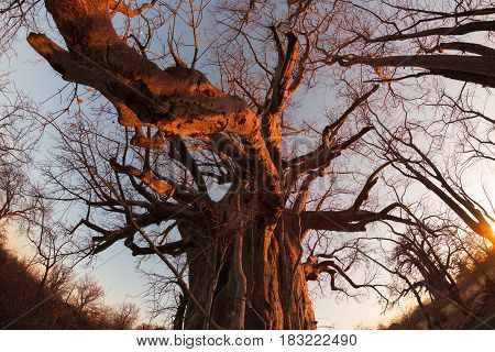 Huge Baobab Plant In The African Savannah With Clear Blue Sky And Sun Star At Sunset. Fisheye View F