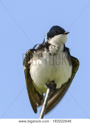 A Tree Swallow (Tachycineta bicolor) adjusts its wings after landing atop a tree in Carroll County Maryland, USA.