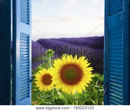 Lavender field rows with sunflowers through wooden shutters, France