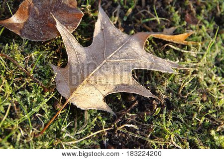 Maple leaf covered by frost on grass on an december morning. First signs of winter.