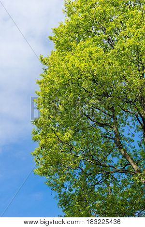 Big Blooming Trees in Spring. Green Leaves. Spring Awakening. A Tree in front of a blue Sky