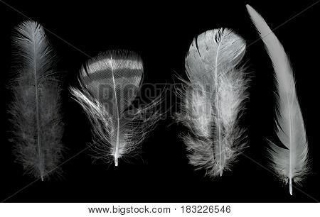 four feathers isolated on black background