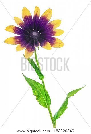 purple and yellow color flower isolated on white background