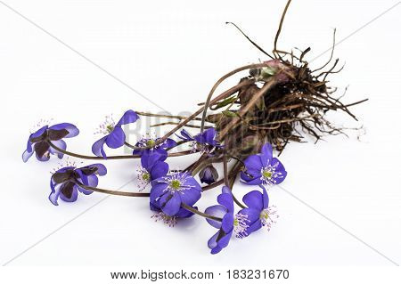 Scilla, first spring flowers isolated. Studio Photo