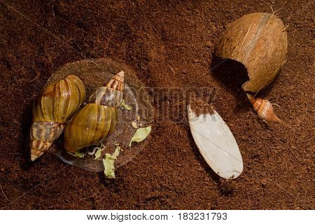African snails Achatina at home on the ground in the aquarium