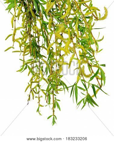 Young foliage and flowers of willows on branches. Isolated on white background without shadow. Flowering willows. Spring.