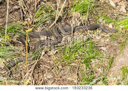 European Adder Sun Bathing