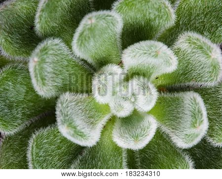 Green leaves of succulent, macro shot, abstract natural background photo. Home floriculture.