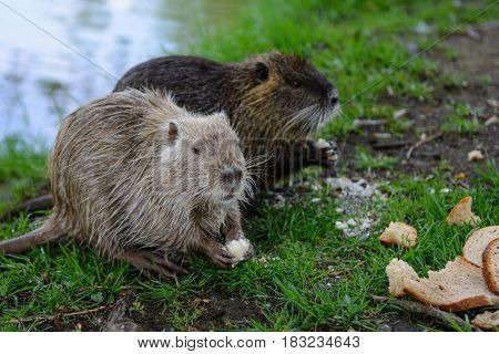 Coypu in nature with bread, nutria, wild