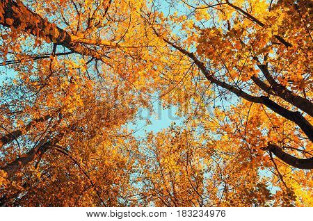 Autumn trees background - orange autumn trees tops against blue sky, autumn natural view of autumn trees. Autumn trees branches against blue autumn sky in sunny autumn weather. Autumn view of autumn tree tops