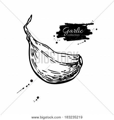 Garlic clove hand drawn vector illustration. Isolated Vegetable  Engraved style object. Detailed vegetarian food drawing. Farm market product. Great for menu, label, icon
