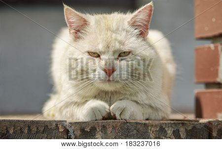 Very serious red-headed cat lies on wooden boards and watches