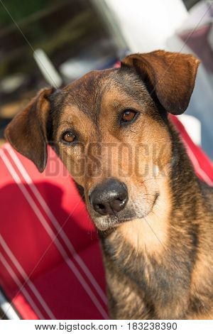 portrait of a hunting dog, special a greek half-breed bracke dog with unknown roots