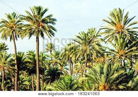 The Date Palm Grove of Elche, Spain