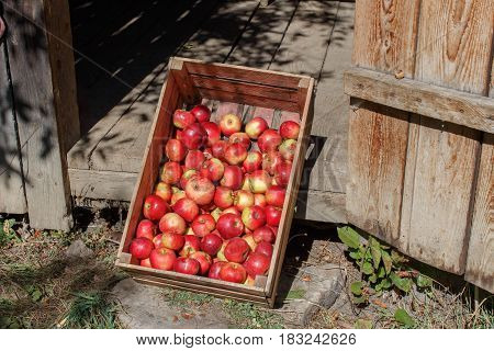 Red apples in a box. Sunny landscape. Freshly picked red apples in a wooden crate