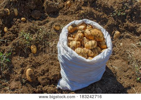 Potatoes in a white bag. Raw potatoes amid the countryside and fields. Gardening farming concept - Picking potatoes