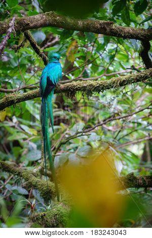 Rear view of beautiful bird in tropic habitat. Quetzal, Pharomachrus mocinno in Costa Rica
