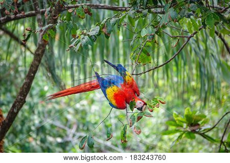 Closeup view of the Scarlet Macaw upside down eating leafs over tree